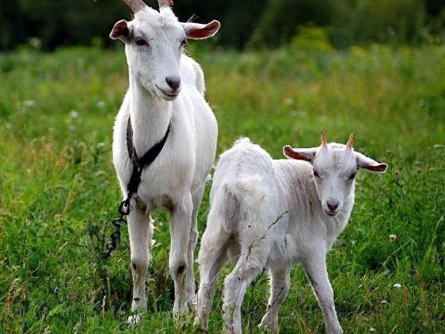 Построить ферму для коз